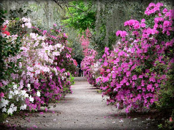 Magnolia Garden Path in the Spring